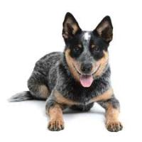 CattleDog's Photo
